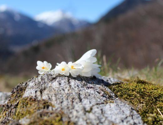 O floare de colț şi un ghiocel
